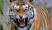 【视频】北京八达岭野生动物园老虎袭击游客致1死1伤
