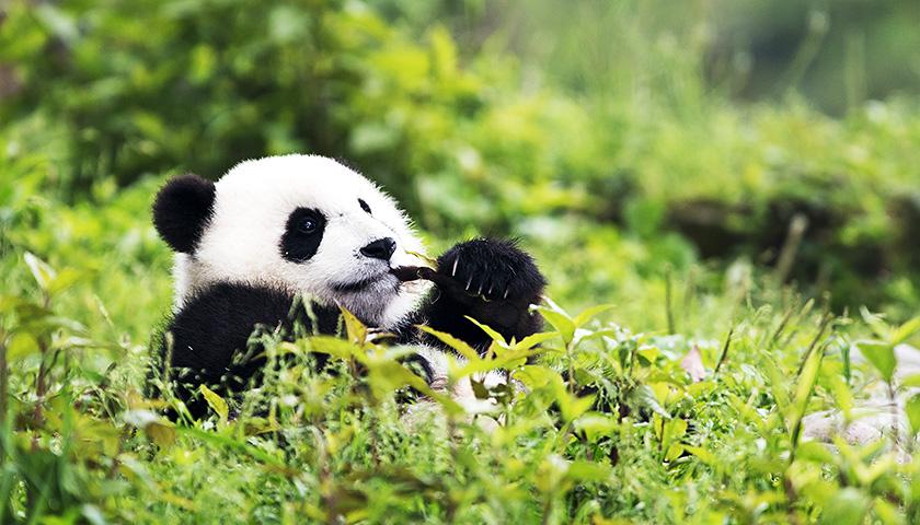 """长期照料三只大熊猫的饲养员远藤伦子说:""""大熊猫在日本人心目中是可爱"""