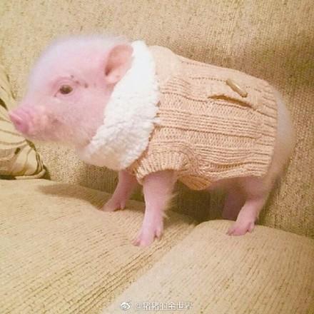 女生们自称猪猪女孩,绝对不是在说自己胖或者丑,而是在艳羡猪的精致.