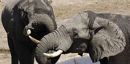 【深度】争议大象买卖:非洲象与人的困境