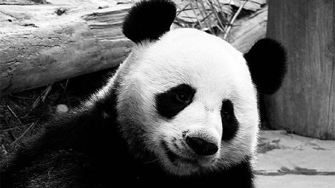"""旅泰19岁大熊猫""""创创""""离世,死亡原因有待调查"""