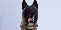 军犬追击巴格达迪立功特朗普晒图,遭电击伤未愈现已返岗