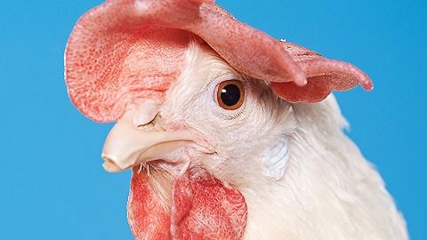 """残酷的工业化""""养鸡"""":它们是人类科技进步的生物载体"""