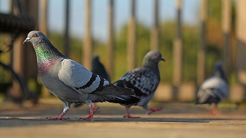 【天下奇闻】研究称人类头发使鸽子失去脚趾 京阿尼纵火犯谢医生:没人对我这么好过