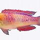 2019年新發現71種動植物物種,紫色小魚用瓦坎達命名