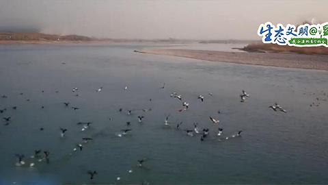 【生态文明@湿地】黄河湿地现32只黑鹳栖息越冬