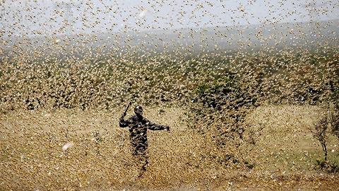 27年来最严重蝗灾侵袭印度,正摧毁西部和中部农作物