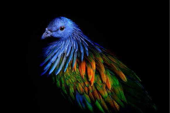 美 它是渡渡鸟的近亲尼柯巴鸠,彩虹一般的存在