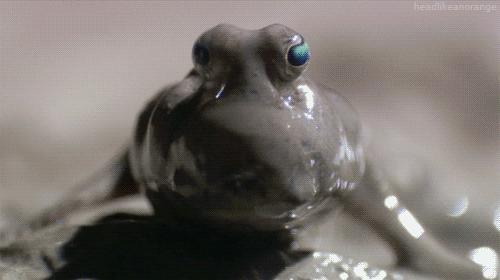 弹涂鱼和青蛙,谁更好吃?   作者:司马,本文由红厨网整编而成,