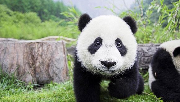 """""""珍大""""和""""双儿""""大熊猫兄弟将入住东莞香市动物园"""