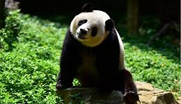 国家林业局:大熊猫仍是濒危物种