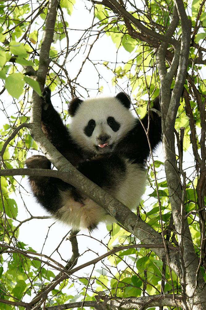 大秦岭_关于野生大熊猫的三个故事 | 正午|界面新闻 · 正午