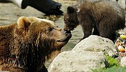 当野生动物遇到无人机:小熊爬雪山视频背后的问题