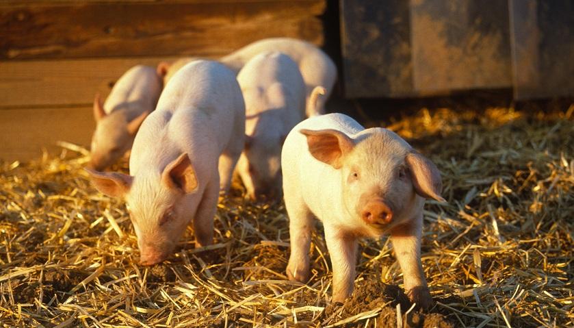 生猪价格持续走低,牧原股份大幅下调2018年业绩预期