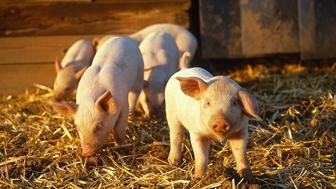 全国非洲猪瘟疫情势头减缓,23省份92个疫区解除封锁