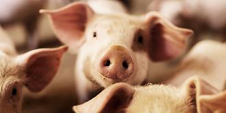 这家生猪养殖商一季度巨亏超过4亿元,但它的股价却一度直奔涨停