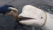 挪威称发现间谍白鲸,俄军官回呛:难道会在间谍身上写电话号码?