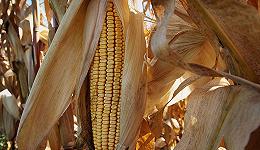 """算算""""关税账"""",美国农民损失有多大"""