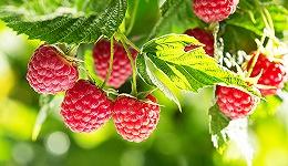 【工业之美】硬邦邦的机器人也能摘软水果了,四只手一天可摘2.5万颗覆盆子