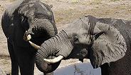【深度】爭議大象買賣:非洲象與人的困境