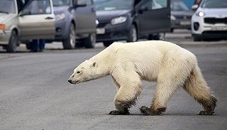 【一周环球掠影】热浪来袭,北极熊都出走了……