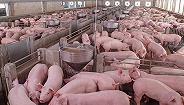 非洲猪瘟下的猪产业链再平衡:养殖头部企业集体进军屠宰领域
