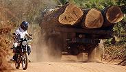 巴西亚马孙雨林流失加速,森林砍伐地被爆违规放牧卖牛