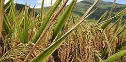 第三代杂交水稻平均亩产突破1000公斤,将成未来育种技术发展方向
