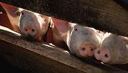 千亿首富的牧原股份大扩张:投入110亿生猪养殖,还要拿出50亿股权激励
