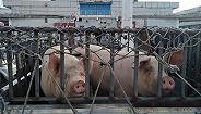 """潘向东:慎言猪价拐点,理清六个""""猪""""问题"""