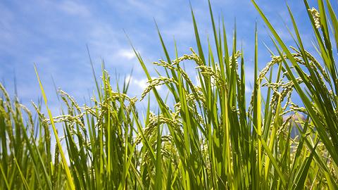 又是一个丰收年 粮食生产能否保持后劲?