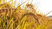 我国现代稻作50年:单产提高130%、温室气体排放下降70%