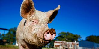 豬價短期上揚概念股普漲,牧原股份盤中創歷史新高
