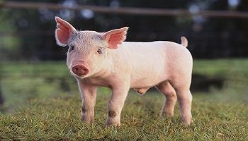 3月生豬產業發展指數大幅回落,便宜豬肉要來了嗎?