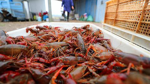 """小龙虾遭遇""""长不大""""烦恼:小虾亏钱卖,大虾买不到..."""