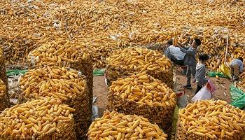 """【深度】台风和""""政策风""""共振:玉米涨价的背后"""