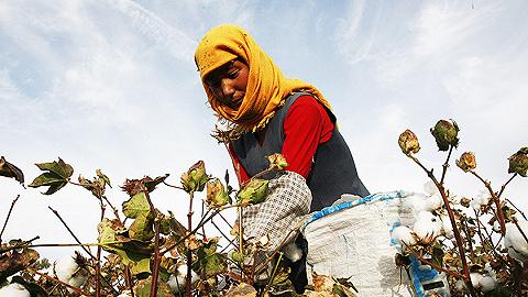 【图集】新疆的棉花采摘:机械与手工并存