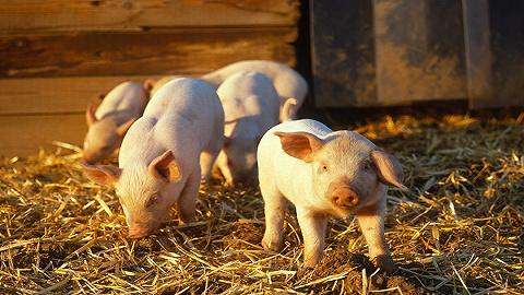 猪价四个月下跌40%,2021年还能投资猪肉股吗?