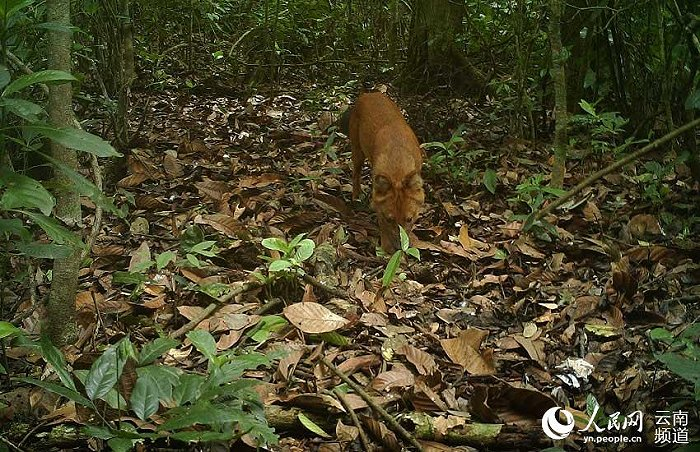 华信娱乐代理云南普洱:拍到国家一级保护动物豺