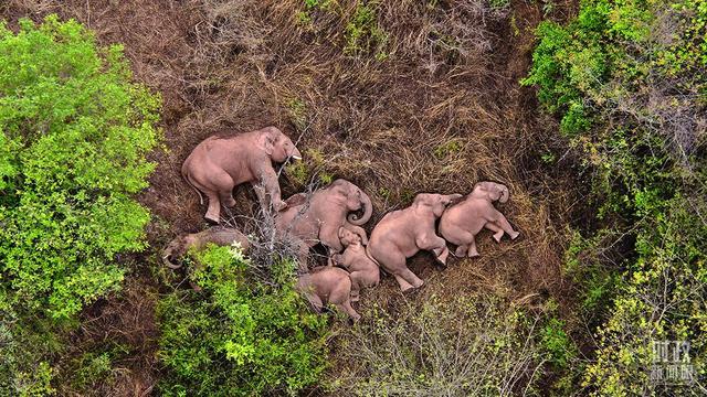 华信娱乐代理丹麦驻华大使:中国从容及时应对云南亚洲象迁徙非常了不起