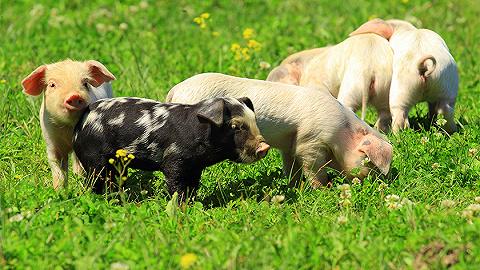 自称处于生猪养殖至暗时刻,海大集团第三季度净利大滑坡,顶流刘彦春逆势加仓