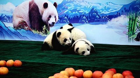 三只熊猫宝宝过百天,名字分别叫秦酷儿、佳佳、园园