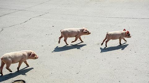 海口计划春节前3天猪肉日投放不少于1200头